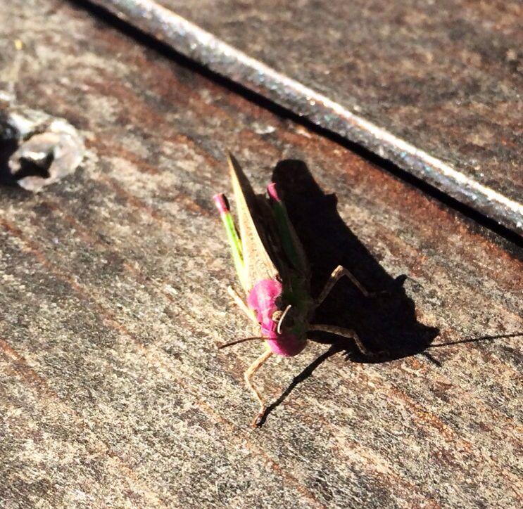 Een bijzondere #sprinkhaan! Met rose/paarse kleuren. Boven op de bar van de buitenkeuken.