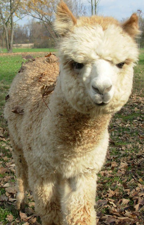 Bluestone Peruvian Houston Another One Of Our Alpacas We Are Willing To Give Him Away For Free He Is Deaf So Not Alpacas For Sale Animal Companions Animals