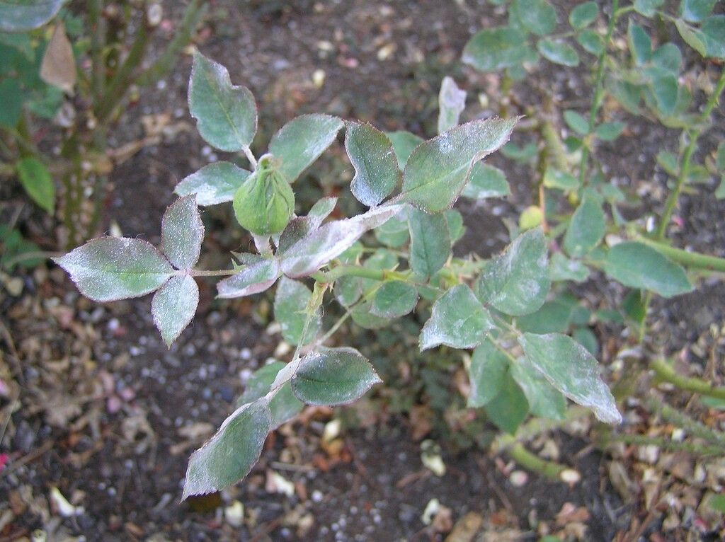 Powdery Mildew on Roses Rose plant care, Powdery mildew