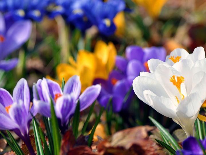 Wiosna Crocus Flower List Of Flowers Crocus