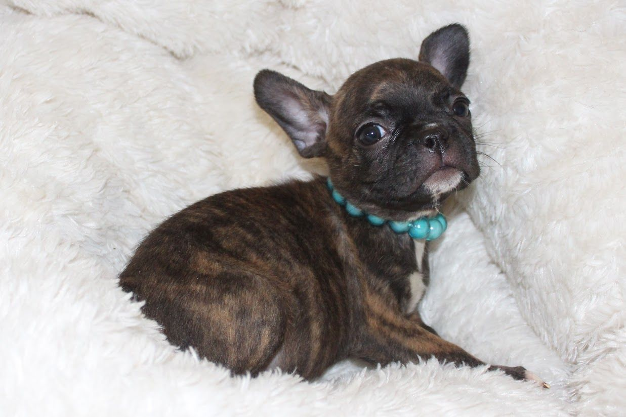 Frenchie Pug Puppies For Sale Mn Search (With images