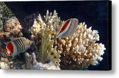 Red Sea Beauty 2 Canvas Print / Canvas Art By Johanna Hurmerintahttp://fineartamerica.com/products/red-sea-beauty-2-johanna-hurmerinta-canvas-print.html