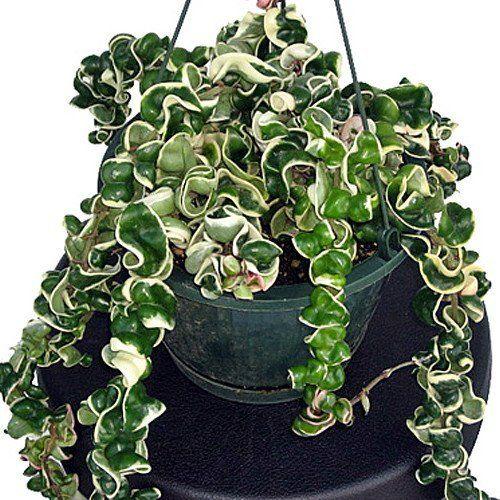 Variegated Hindu Rope Plant Hoya Exoticeasy To Grow House Plant