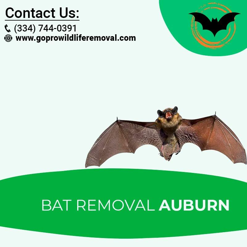 Hire The Best Services Of Bat Removal In Auburn From Go Pro Wildlife Removal Company Auburn Wildlife Gopro