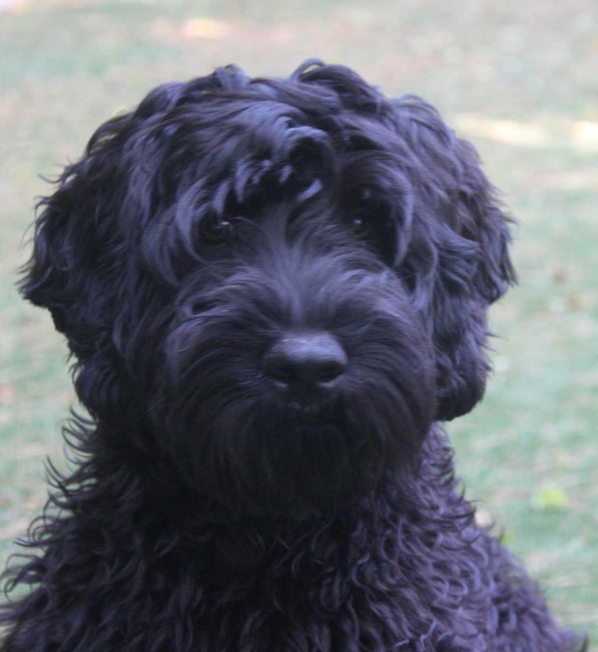 black labradoodle haircuts grooming black labradoodle puppy black labradoodle