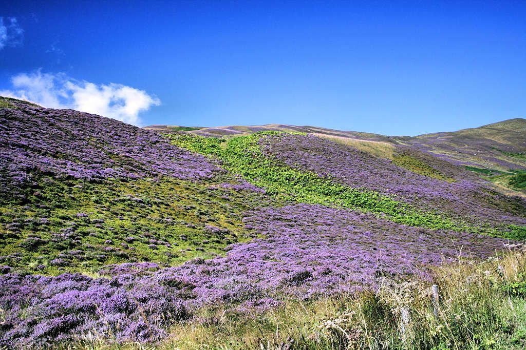 Heather Blooming In Scotland A View Of A Typical Scottish Hill Lovely Scottish Heather Scotland Beautiful Gardens