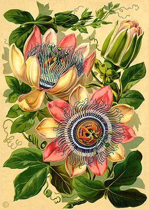 Passiflora X Belotii 1824 Described As Passiflora Pfordti Americana Trail Botanical Drawings Vintage Botanical Prints Botanical Painting