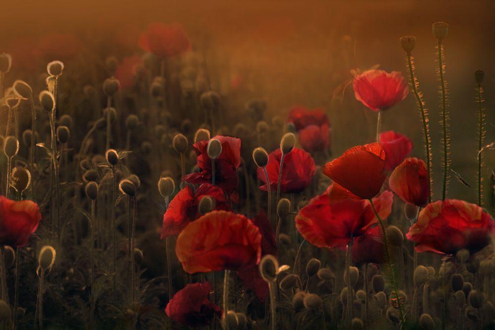 Die ersten Mohnblumen sind aufgegangen...der Sommer kommt :-)   Danke an pr67 für den überraschenden Votingvorschlag !  Ich freu mich