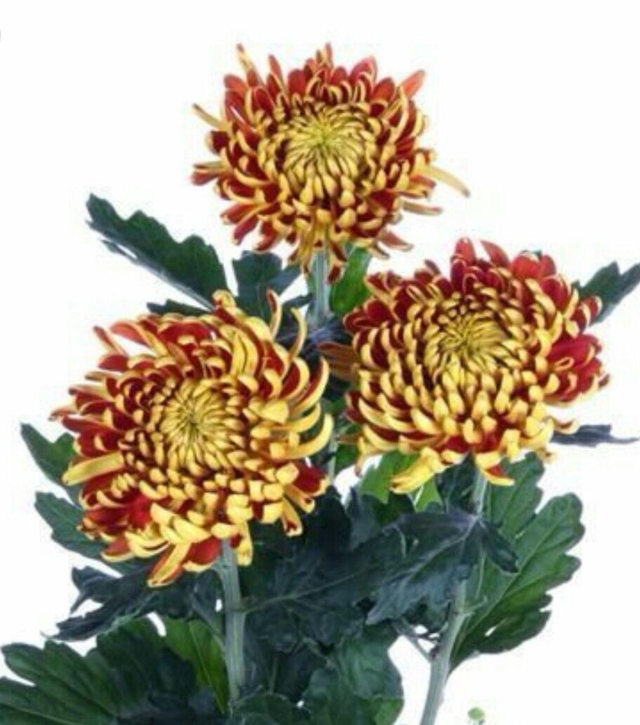 "Chrysanthemum, ""Fuego Bronze"" Chrysanthemum"