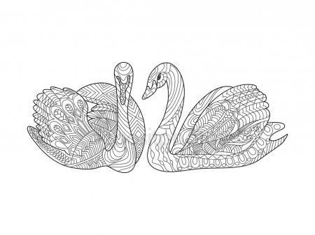 Cisnes para colorear libro de vectores adultos Ilustraciones De ...