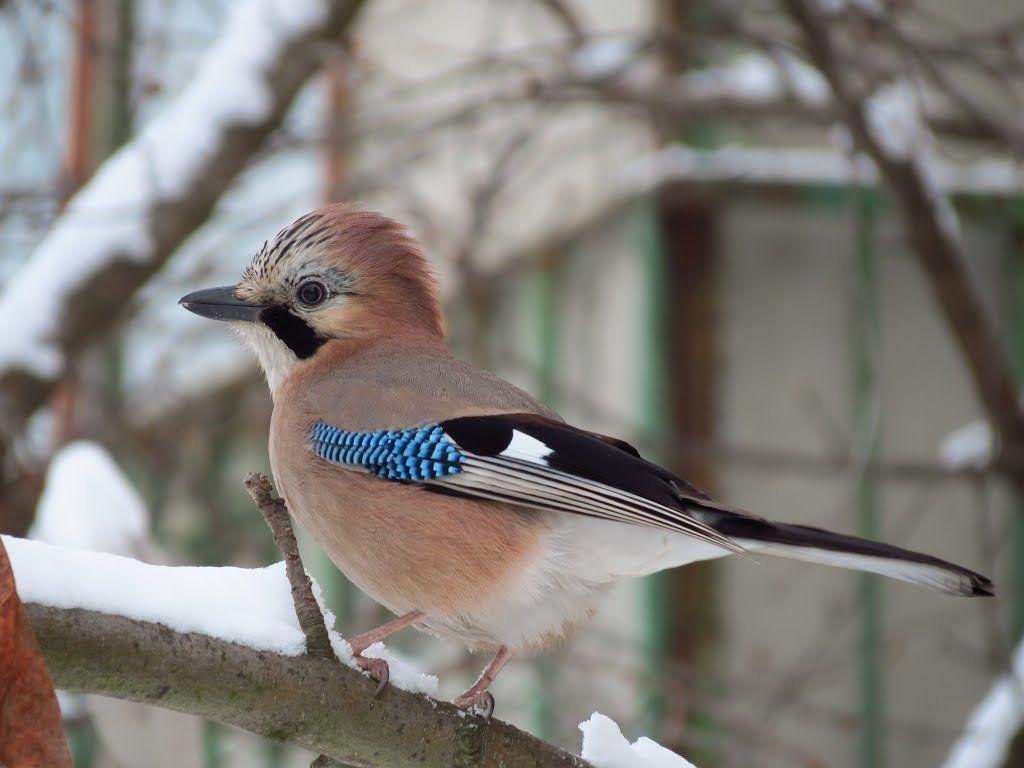 показать фото птицы сойки девушка