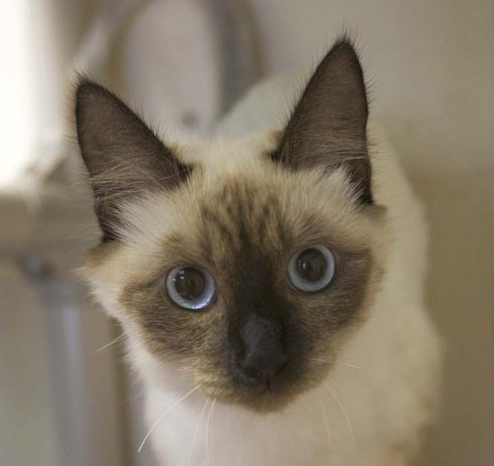 Bali Is A 1 Year Old Female Colorpoint Siamese Mix Pets 1 Year