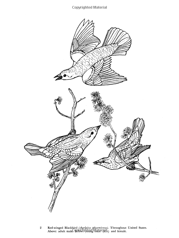 65 Audubons Birds Of America Coloring Book Picture HD