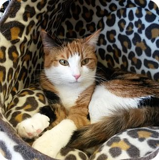 Bloomfield Nj Calico Meet Lourdes Aka Lourdy A Cat For Adoption Http Www Adoptapet Com Pet 7987902 Bloomfield New Jersey With Images Cat Adoption Pet Adoption Pets