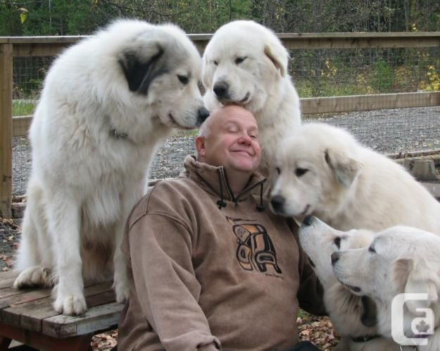 Great Pyrenees Great Pyrenees Puppies In Vancouver British