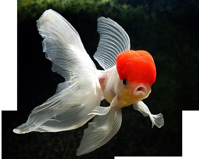 Aquarium Fish Plants Online Delivery Available All India Aquarium Fish Fish Plants Fish Pet