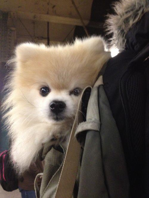 Resultado de imagen para Pomeranian hug pinterest