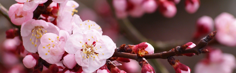 Download Wallpaper Sakura Flowers Cherry Blossom Branch Buds Petals Pink White Flowers Cherry Blossom Wallpaper Apricot Blossom Cherry Blossom Flowers