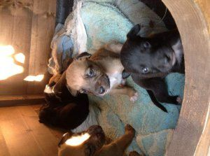 Perritos del terrier de pitbull americano - Caracas - avisos, clasificados gratis