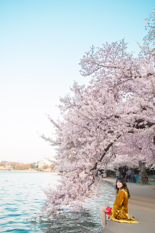 The 2021 Guide To Washington Dc Cherry Blossom Peak Bloom Cherry Blossom Dc Cherry Blossom Cherry Blossom Festival