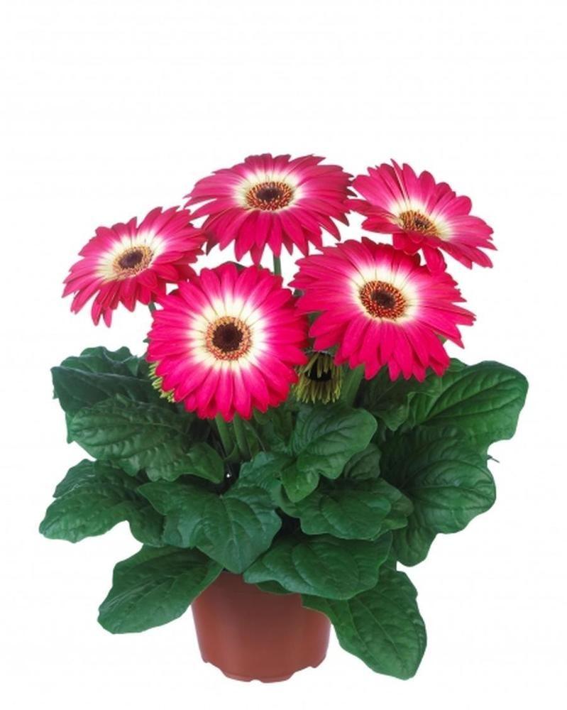 50 Gerbera Daisy Floriline Midi Eyecatcher Purple Live Flower Plants Diy 392 Planting Flowers Plants Landscaping Plants