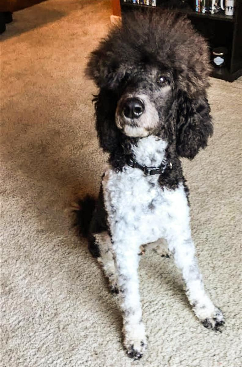Lost Dog Poodle Standard Columbus Oh United States 43235