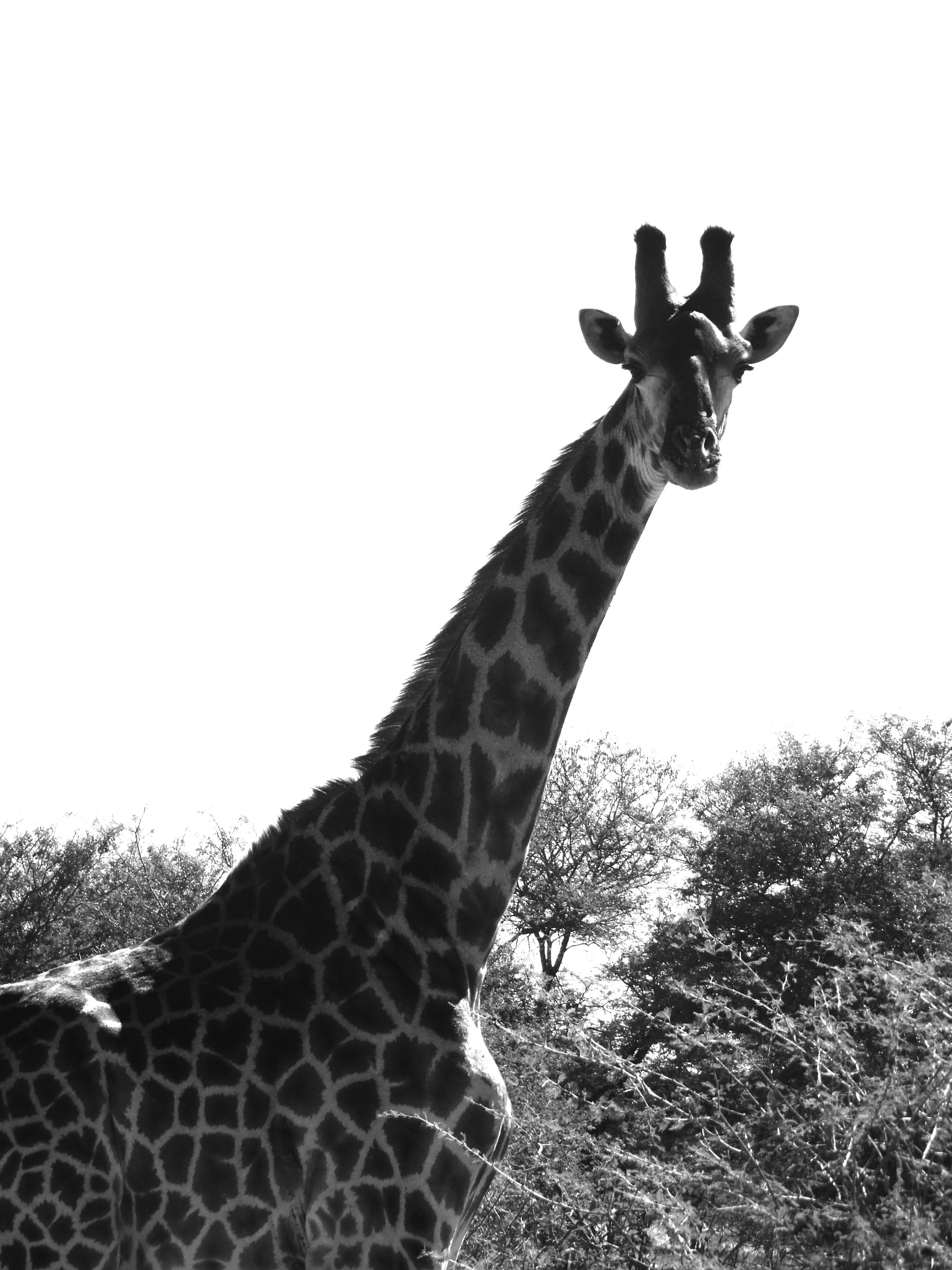 Beautiful giraffe looking right into the camera. Kruger National Park, South Africa, 2011.