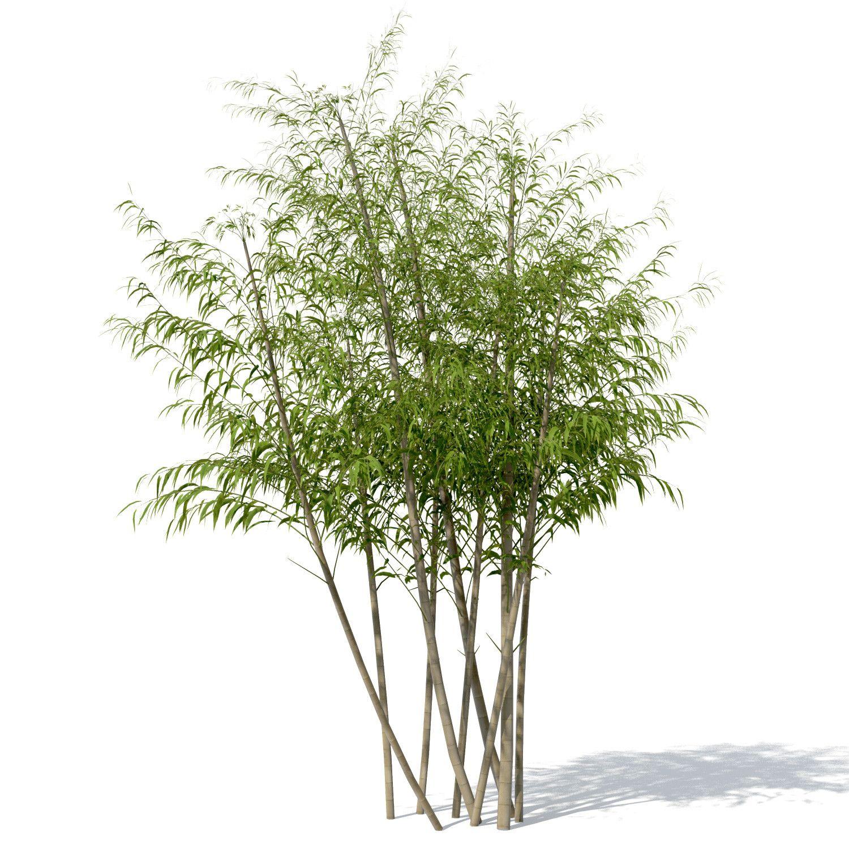 golden bamboo plant 3d max | tree psd | pinterest | golden bamboo