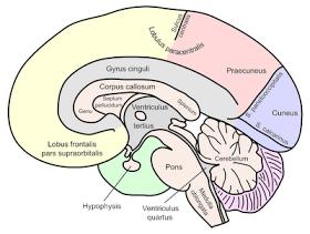 ADHD treatments: ADHD: A Precursor to Alcoholism? (Corpus Callosum ...