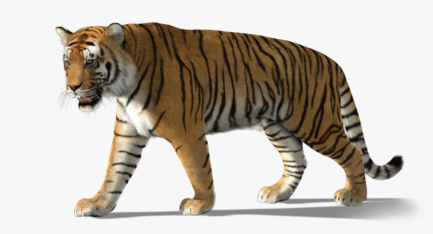 3d model tiger fur Tiger fur, 3d model, Tiger