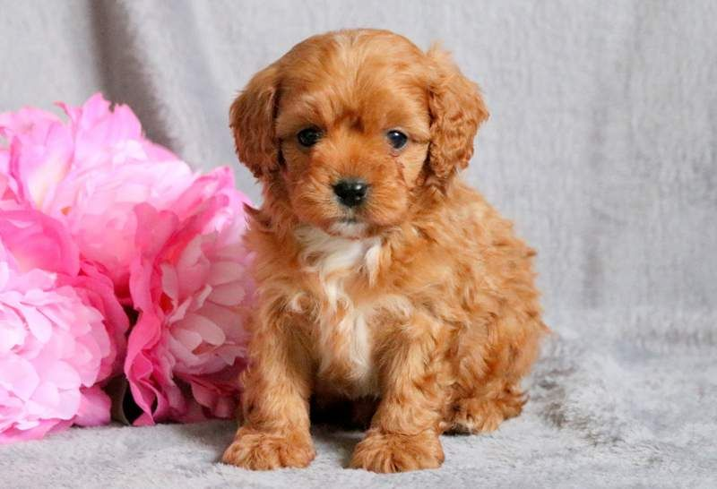 Cavapoo Puppy For Sale In Mount Joy Pa Adn 68784 On Puppyfinder Com Gender Male Age 6 Weeks Old Cavapoo Puppies Cavapoo Puppies For Sale Puppy Adoption