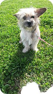 Pin By Penny On Dogs Terrier Puppies Cairn Terrier Norwich Terrier