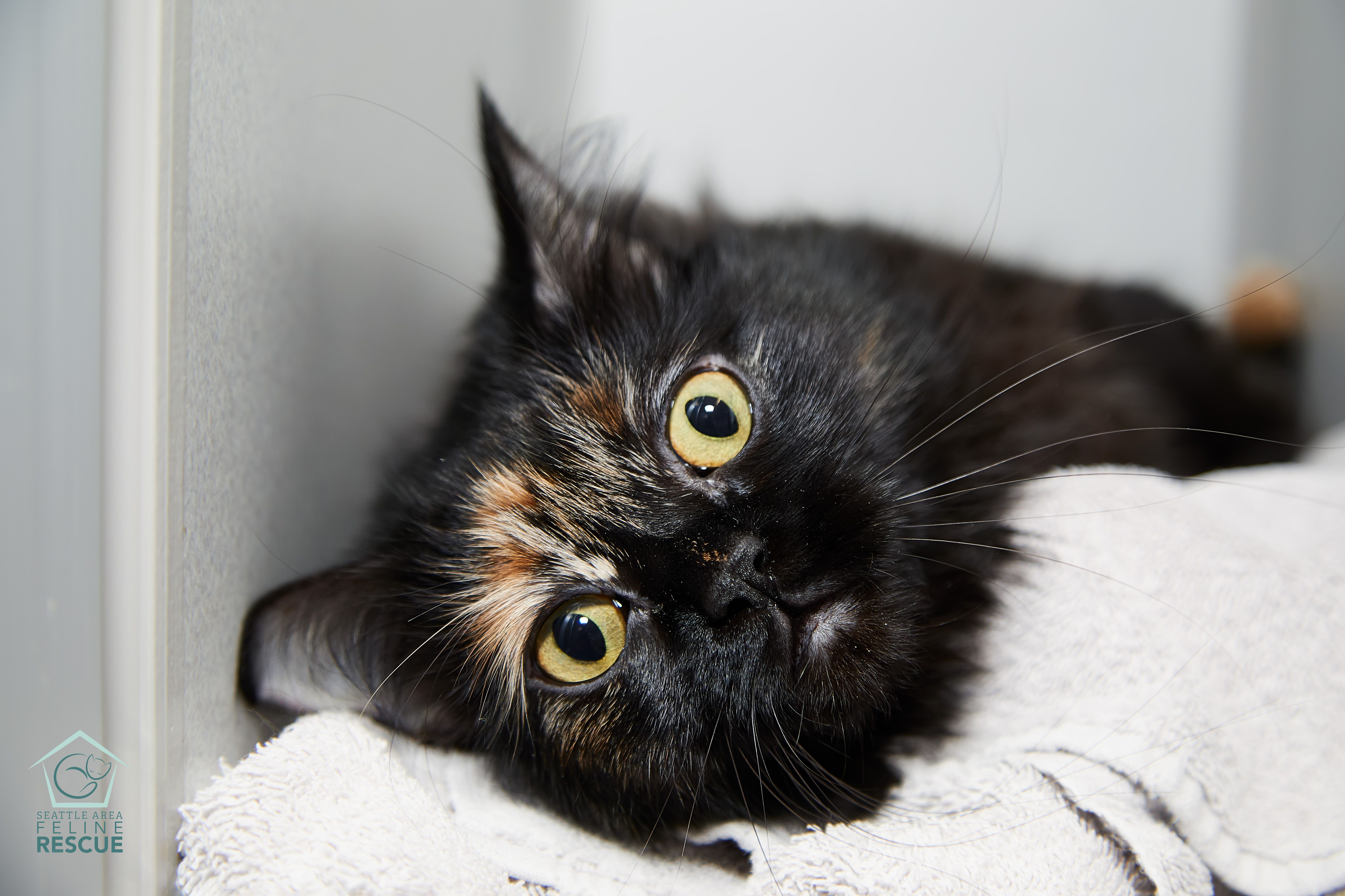 Total Eclipse Of The Heart Eclipse Is Waiting For Her Person At Seattle Area Feline Rescue Cute Animals Cute Cats Cats Kittens