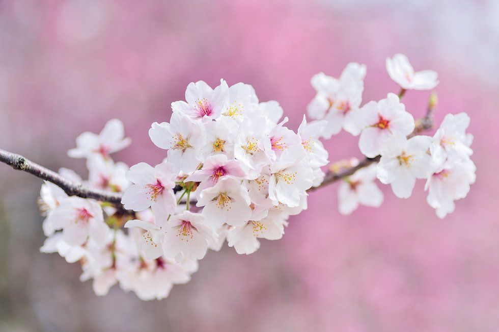 This Southern Town Hosts The International Cherry Blossom Festival Each March Cherry Blossom Festival Blossom Trees Cherry Blossom Tree