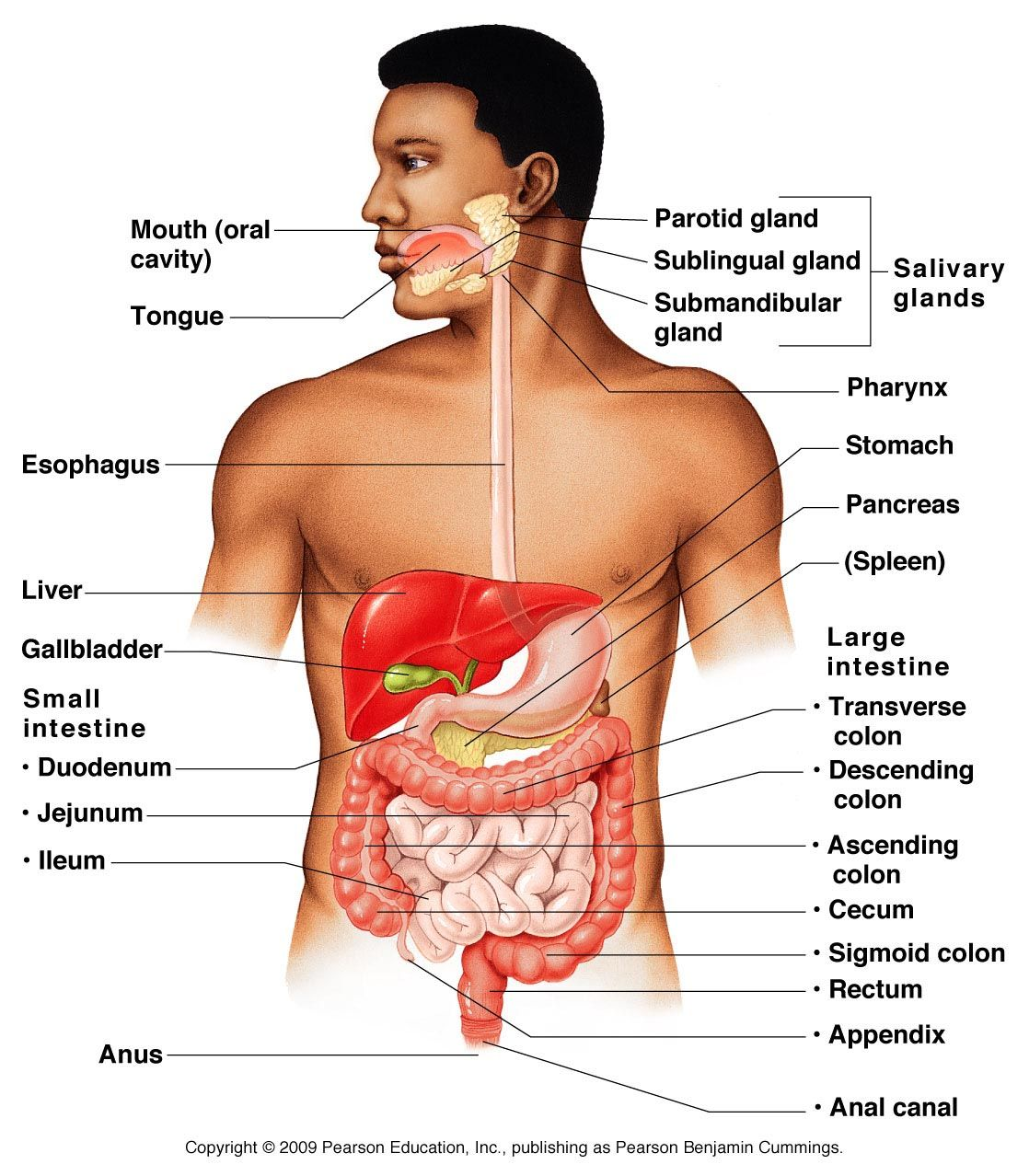 hight resolution of the digestive system is part of your digestive system