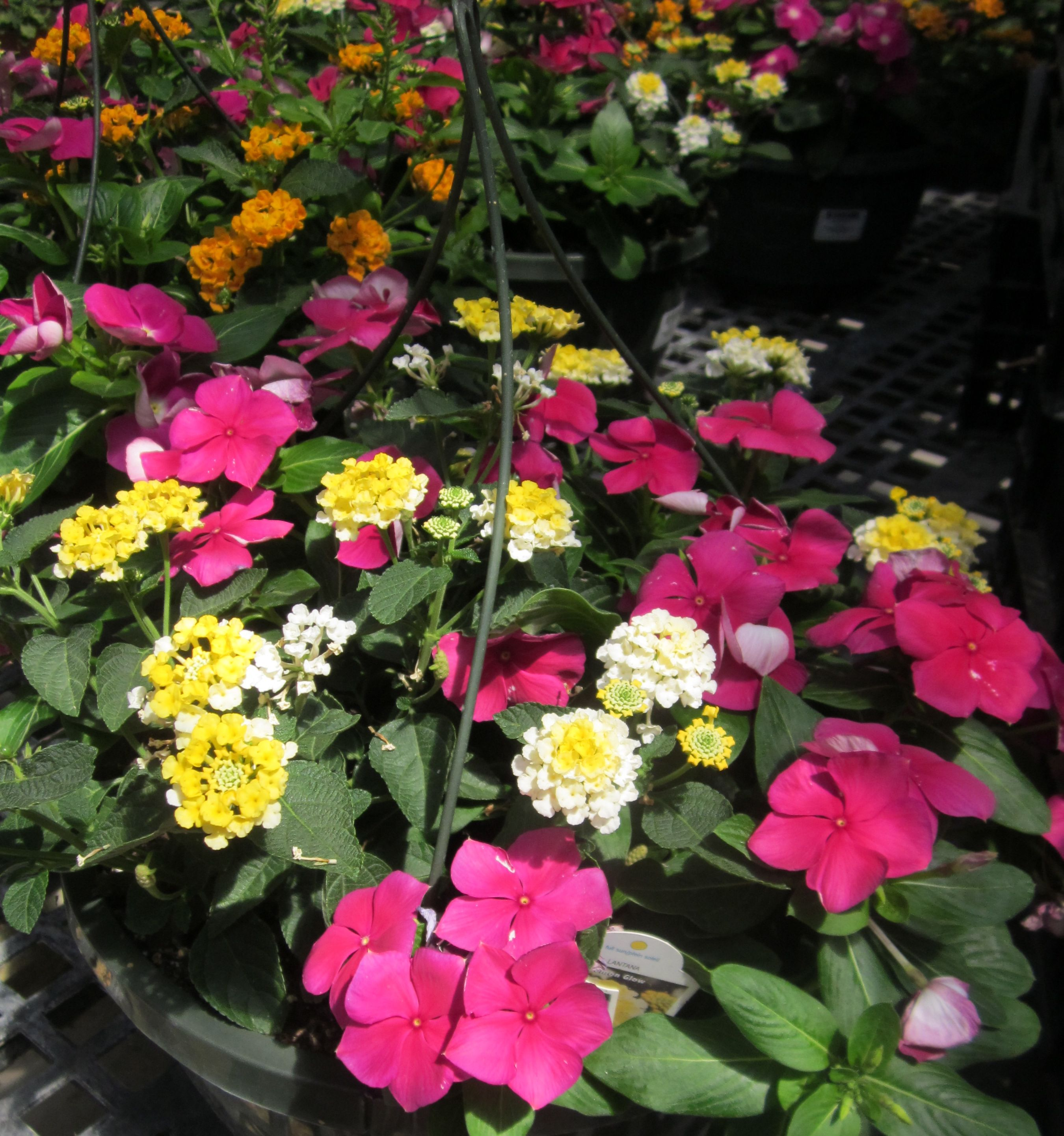 Lantana Hanging Basket Brilliant Stutzmans Vinca & Lantana Hanging Baskets  Stutzmans Greenhouse Review