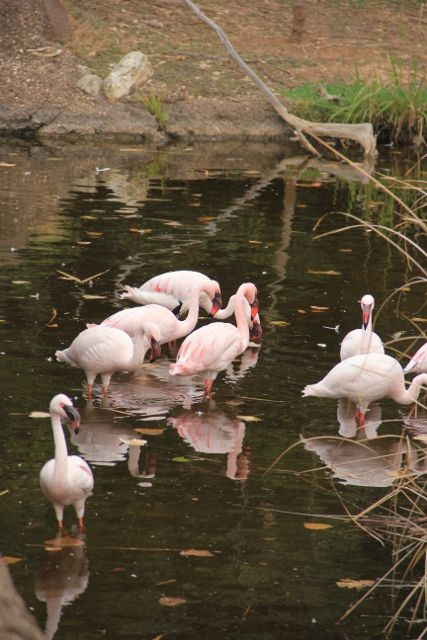 More flamingos at the Cameron Park Zoo, Waco, Texas. Photo by Terry Spear
