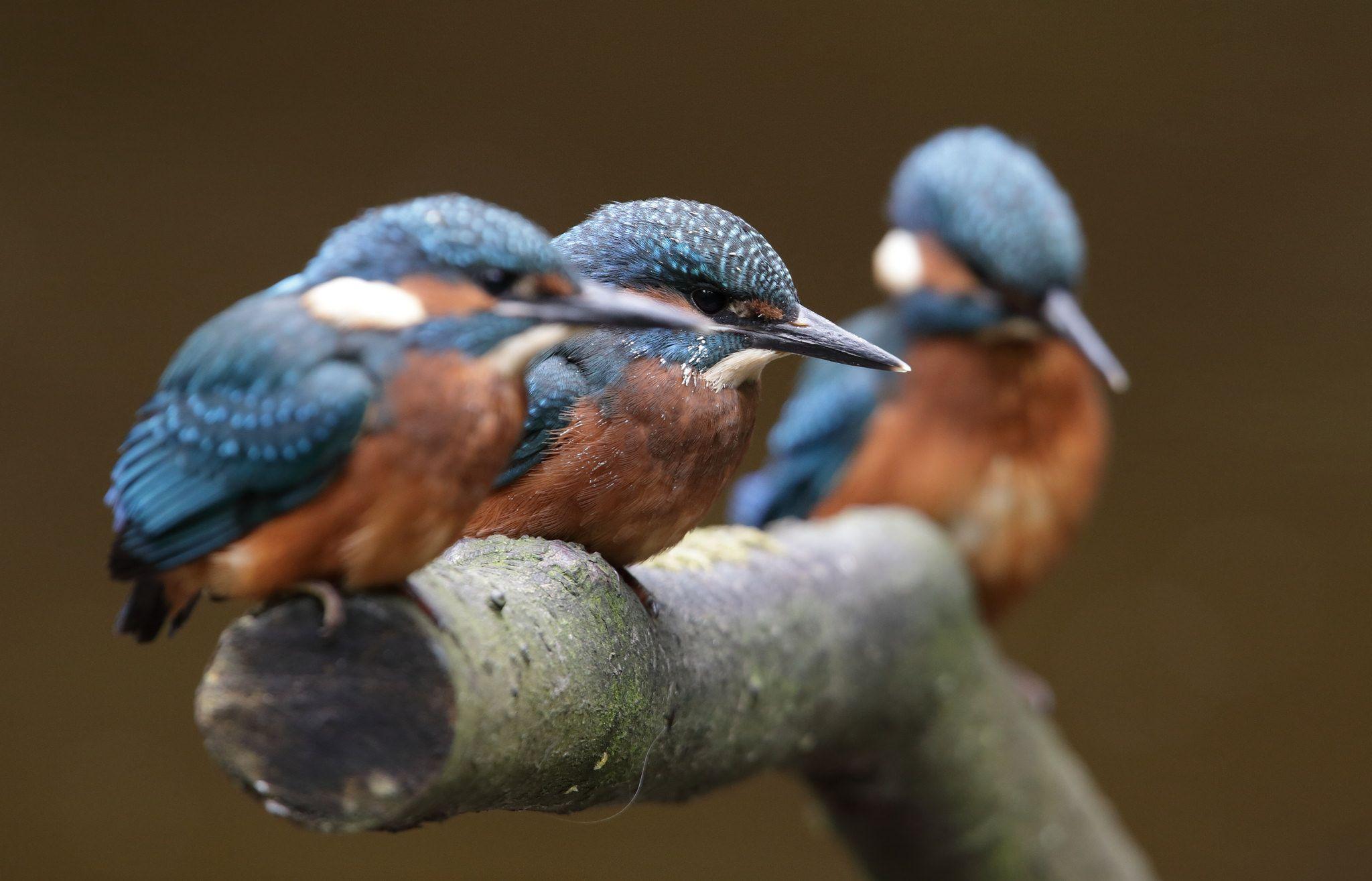 Kingfisher...2012. Kingfisher, Kingfisher bird