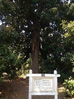 Inside The Magnolia Tree In Old Washington State Park Arkansas
