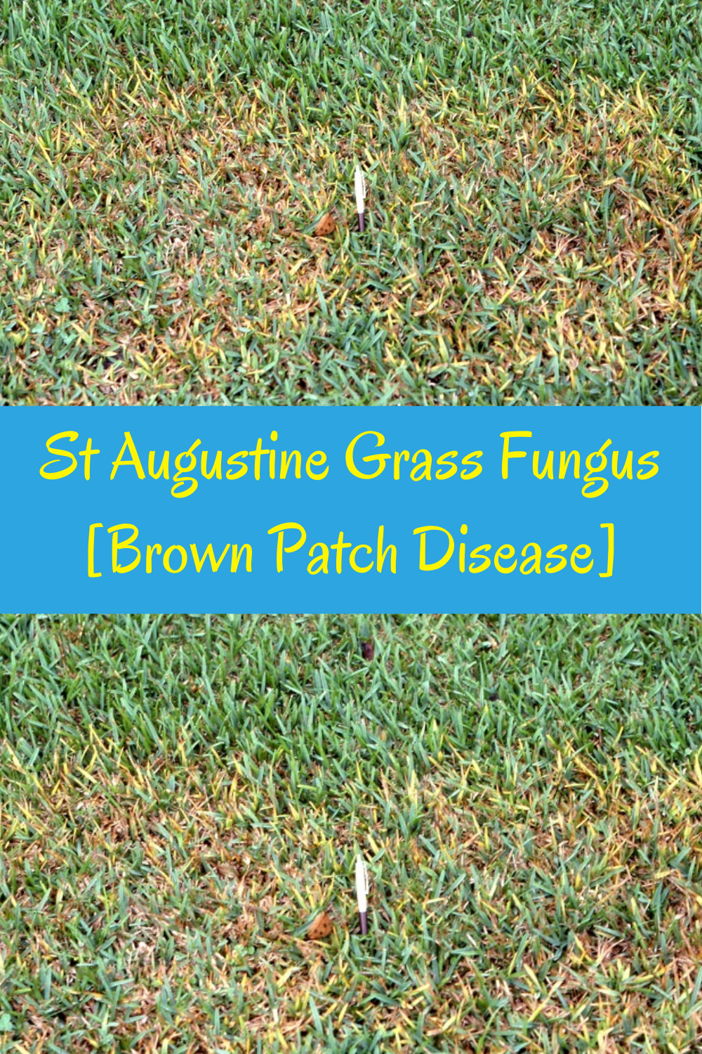 How To Treat St Augustine Grass Fungus Get Rid Of Brown Patches In Lawn In 2020 Warm Season Grass Grass Grass Species