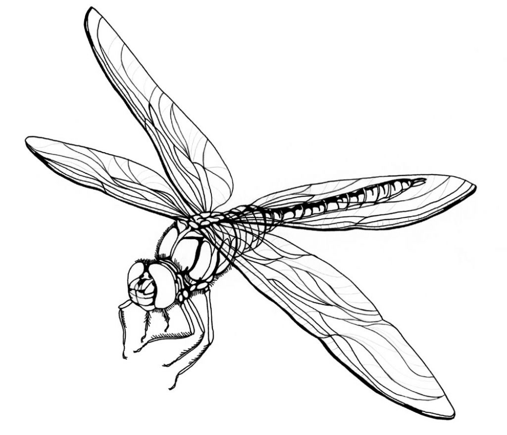 Dragonfly Tattoo Line Drawing : Drawing of dragonfly how to draw in simple lines
