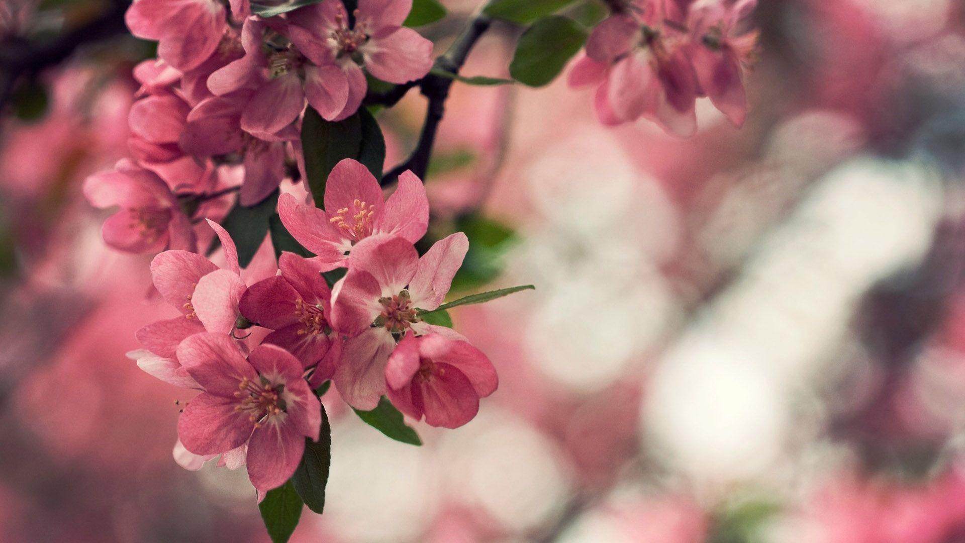 Flower Cherry Blossom Wallpaper Flower Wallpaper Best Flowers Images Hd wallpaper flower pink bloom plant