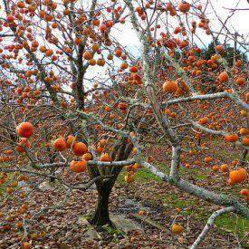 5 JAPANESE PERSIMMON Tree Asian Diospyros Kaki Orange Red Fruit Flower Seeds