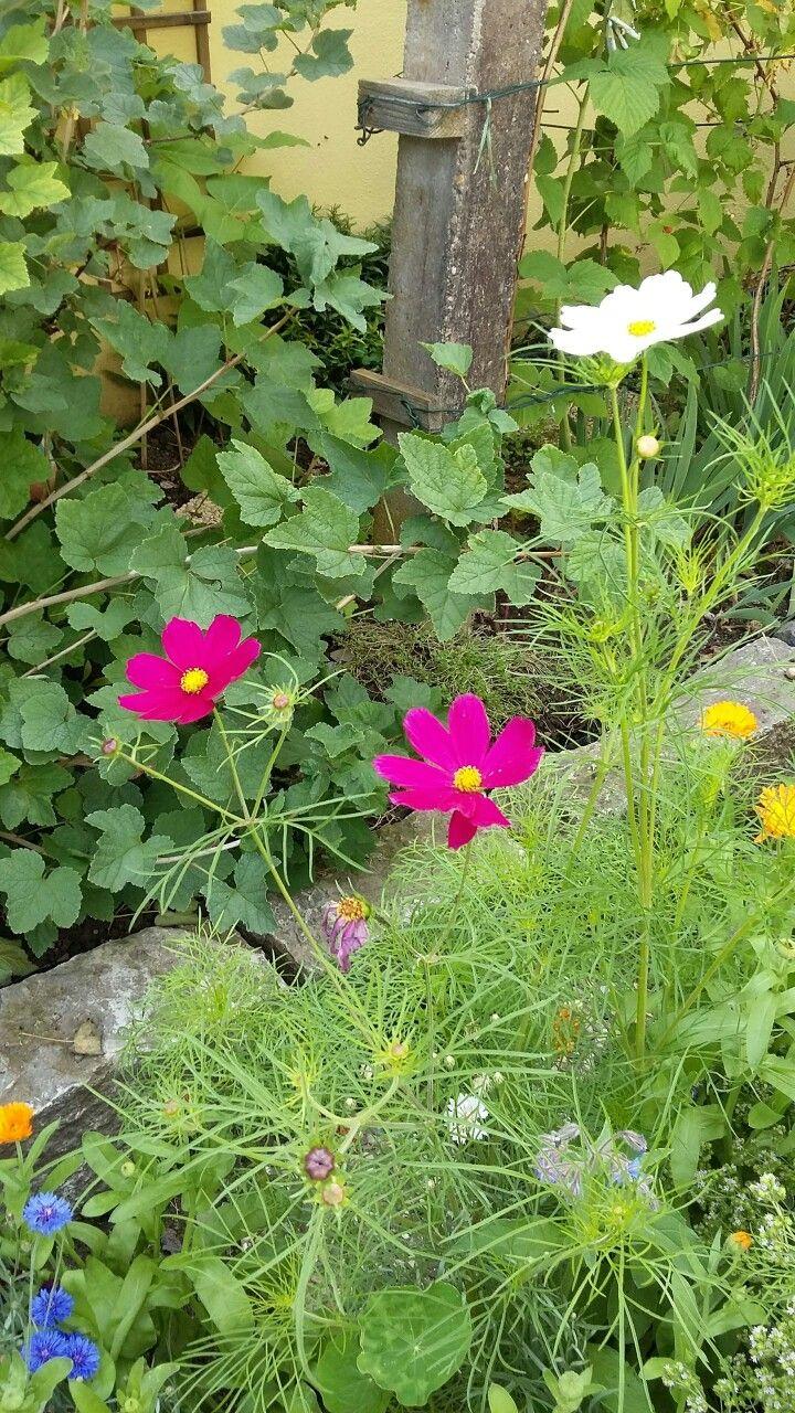 Cosmea Cosmea Garten Schonheit