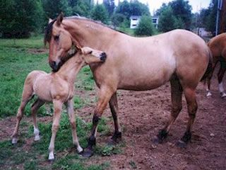 Kiger Mustang mare and foal