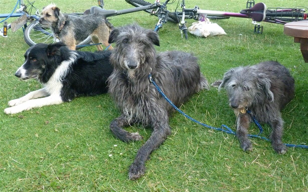 25 Of The World S Largest Dog Breeds Large Dog Breeds Scottish