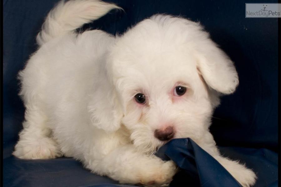 Meet Puppy A Cute Malti Poo Maltipoo Puppy Maltipoo Id 330 Puppies Maltipoo Maltipoo Puppy