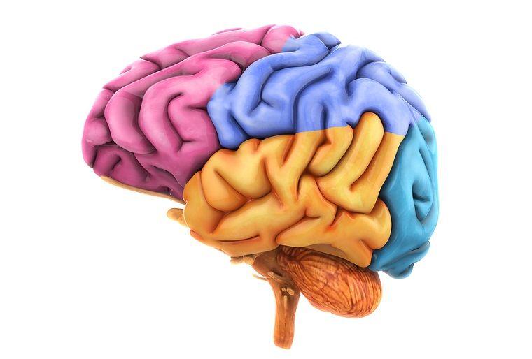 corteza-cerebral | Anatomía y fisiología | Pinterest | Corteza ...
