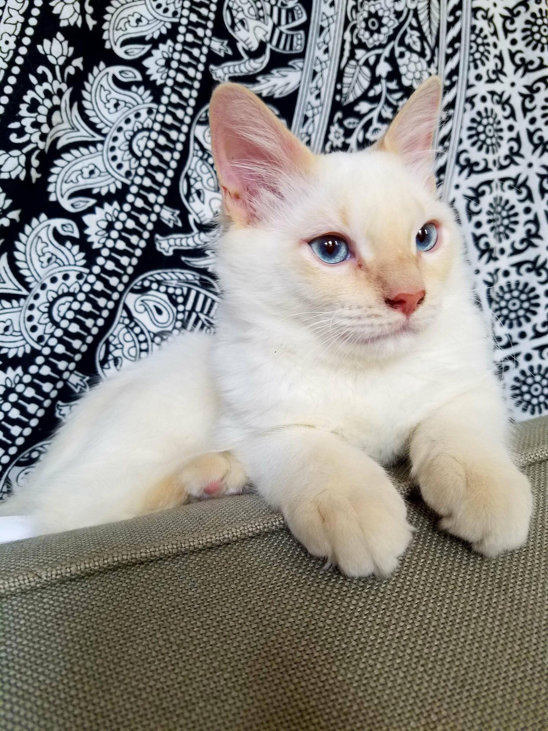 9 Greeley Maine Coon Kittens For Sale