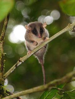 Pygmy possum - Wikidata